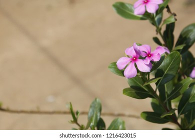 Catharanthus roseus.commonly known as the Madagascar periwinkle, rose periwinkle, or rosy periwinkle.It is an medicinal plant is widely used in Seychelles for a variety of ailments.