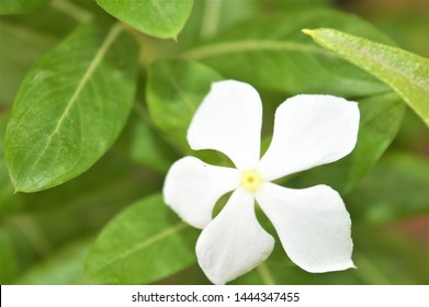 Catharanthus roseus,commonly known as the Madagascar periwinkle, rose periwinkle, or rosy periwinkle. It is an ornamental and medicinal plant. It is also known as Nayantara in West Bengal & Bangladesh