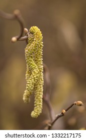 Catkins of a Corylus avellana plant in spring