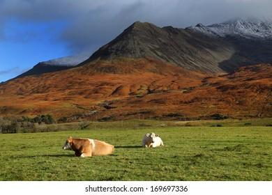 Catlle on the Island of Skye, Scotland, Europe