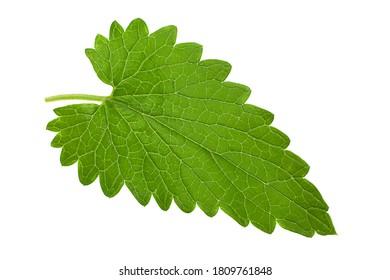 Catnip lemon mint leaf cloesup isolated on white background