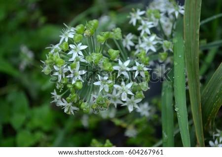 Catnip plant bloom tiny white starlike stock photo edit now catnip plant in bloom with tiny white star like flowers mightylinksfo