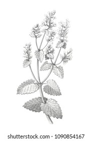 Catnip Plant & Flowers Pencil Drawing Isolated on White with Clipping Path
