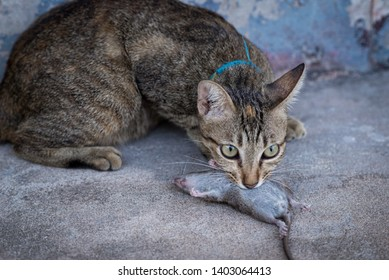 Cats catch and bite mice in the house.