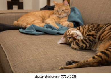 cats hanging out on couch - orange tabby and striped toyger kittens napping