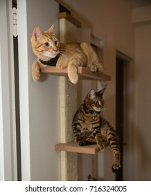 cats hanging out on shelf levels in apartment - orange tabby and striped toyger cat