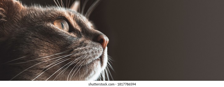 The cat's head in close-up on the left side of the frame looks at the dark gray copywriting area on the right side of the frame. Photo of the cat for the banner.