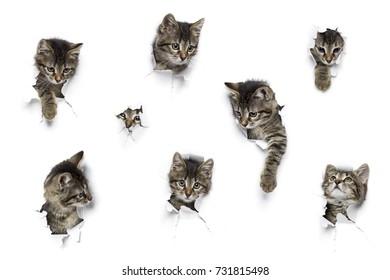 Katzen in Papierlöchern, kleine graue Tabbykätzchen, die auf zerrissenem weißem Hintergrund herumpinkeln, acht lustige, spielende Haustiere