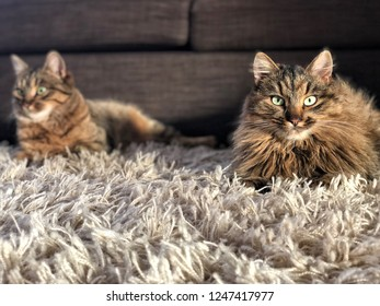 cats lying on carpet in home