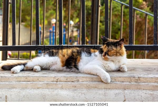cats-malta-stray-fluffy-calico-600w-1527