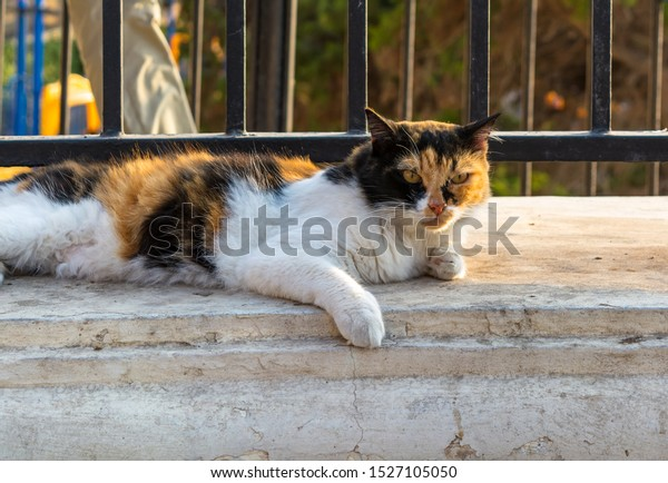 cats-malta-stray-fluffy-calico-600w-1527