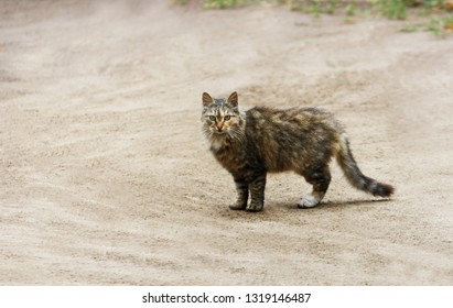 Cat's on the road. Brown fluffy cat standing on a sandy empty road.