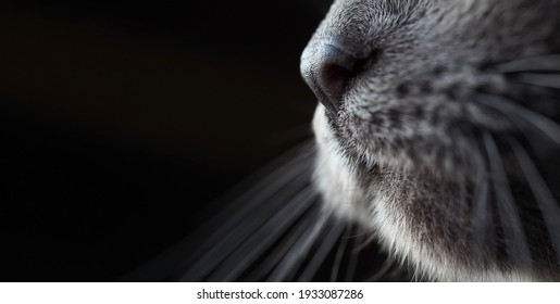 cat's snout nose moustache close-up, macrophoto, Russian blue breed, dark blurred background, wide horizontal banner, selective soft focus, copyspace, concept of pet, care for animals