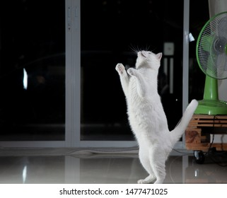 Cats Stand up and jump to play with owners. Stop Action White cat jumping up leaps in the air and strange movements.