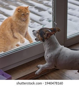 cats vs dogs, a confrontation through the glass doors of the terrace of the house, between a red cat and a grinning dog of the Jack Russell Terrier breed