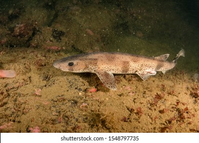 Catshark photographed on the south coast of Norway