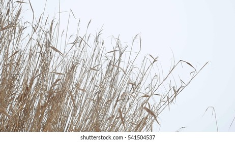 cattail dry grass reeds on river in the snow winter landscape Russia