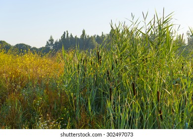 Cattail on the shore of a lake in summer