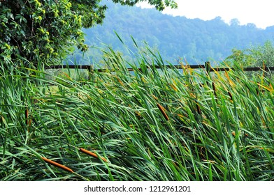 Cattail plant in a pond (Typha). Nature background.