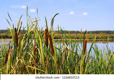 cattail at a pond, close-up, woodland in the background