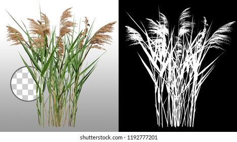 Cattail and reed plant isolated on a transparent background via an alpha channel of great precision. Distaff and bulrush. High quality mask without unwanted edge. High Res for professional composition