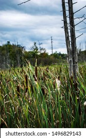 Cattails and bullrushes in marshy wetlands with dead tree in foreground on cloud day