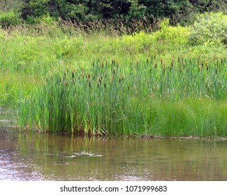 cattails (bulrushes) at the edge of a lake in the shallows near the grassy bank; near Canaan Valley, WV, USA