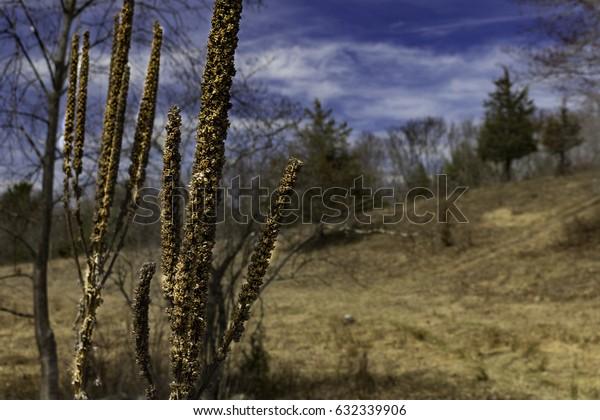Cattails on the Hillside