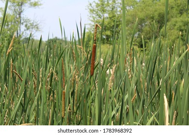 Cattails in a pond bordering the Paw Paw River at a nature preserve