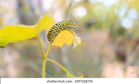Catterpillar of Papilio machaon. Close up shot.