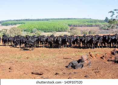 Cattle Angus and Wagyu on farm pasture with plowing in the background on beautiful summer day. Brazil is one of the largest meat exporters.