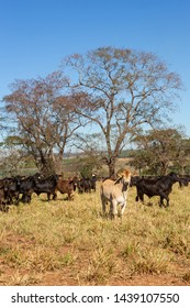 Cattle Angus and Wagyu on farm pasture with trees in the background on beautiful summer day. Brazil is one of the largest meat exporters.