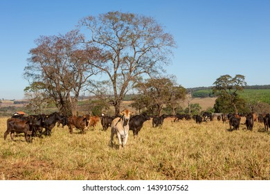 Cattle Angus and Wagyu on farm pasture with trees in the background on beautiful summer day. Brazil is the second largest producer of meat in world beef production.