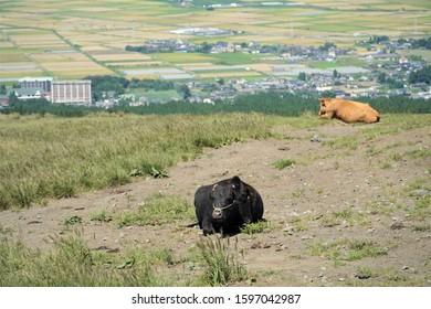 cattle in Aso Kumamoto Japan