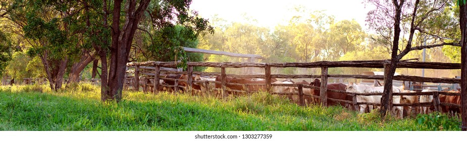 Cattle being round up into yards in late afternoon light, ready for droving to another property in the morning