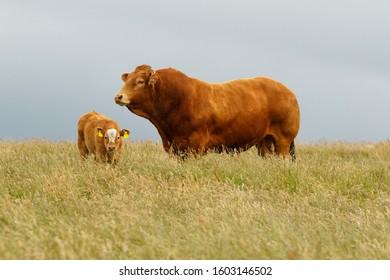 Cattle (Bos taurus) grazing on field, Scotland, United Kingdom.