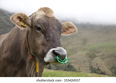 Cattle (Bos taurus) with nose piercings, italian Alps.