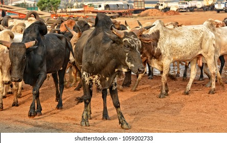 Cattle breeding. Herd of African cattle. Husbandry. Cows. Beautiful landscape. Panoramic skyline.