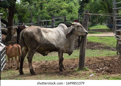 Cattle and buffaloes are traded every Saturday. At Rong Wua Market, Chiang Mai, Thailand, on 16/01/19Thailand