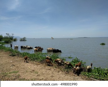 Cattle by the Lake
