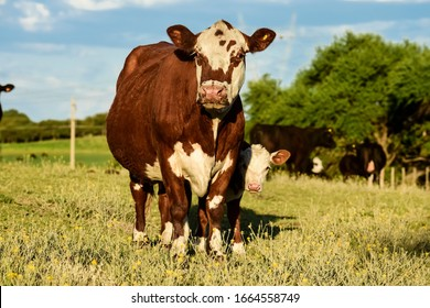 Cattle and  calf , Pampas countryside,La Pampa Province, Argentina.