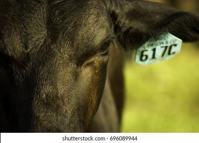 Cattle Close Up