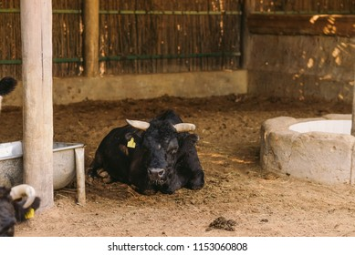 Cattle, colloquially cows, the most common type of large domesticated ungulates. They're prominent modern member of the subfamily Bovinae, the most widespread species is Bos Taurus, Dexter & Holstein