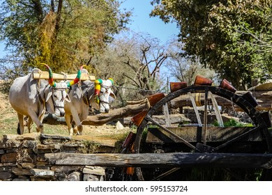 Cattle with colorful painted horns pulling a water wheel, Rajasthan, India
