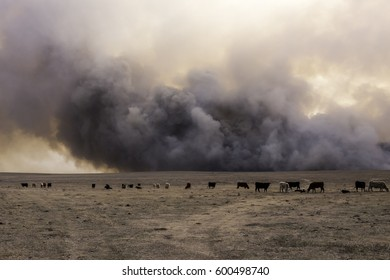Cattle continue grazing as if unaware of the grassland wildfire passing behind them.