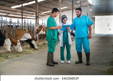 Cattle, cow animal farm veterinary. Agriculture industry, veterinarian or doctor communicating with cows in cowshed on dairy farm, medical treatments.
