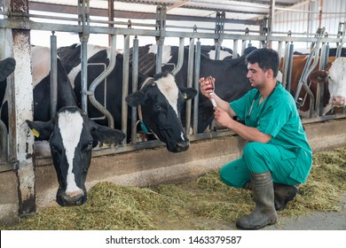 Cattle, cow animal farm veterinary. Agriculture industry, veterinarian or doctor communicating with cows in cowshed on dairy farm. Veterinarian with syringe and bottle in hands