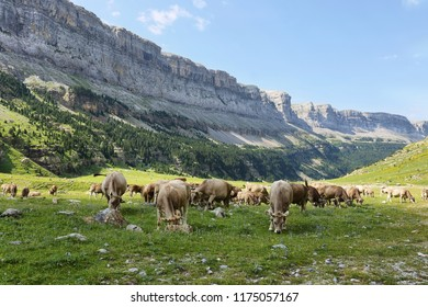Cattle of cows grazing in Ordesa national park in Huesca, Spain.