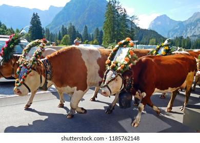 Cattle descent, Almabtrieb, Austria