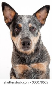 Cattle Dog closeup